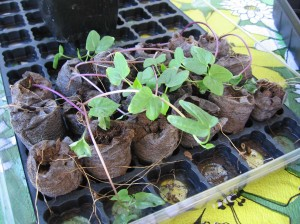 Morning Glory Seedlings